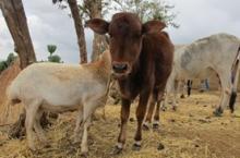 Cow, Ethiopia