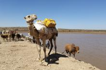 A camel and cattle on the banks of  water body, Somali region, Ethiopia