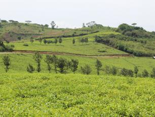 Teaplantation in Kabarole District
