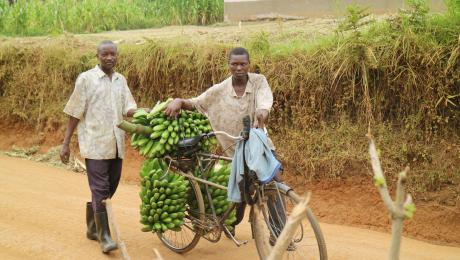 Men with bicycle bringing bananas to the market